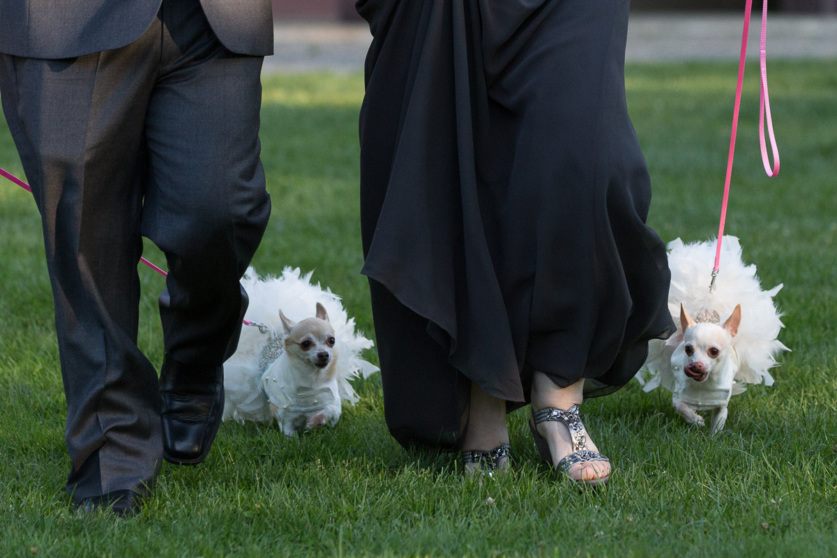 dogs walking down the aisle